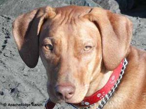Rhodesian Ridgeback Puppies - Rhodesian Ridgeback Puppies