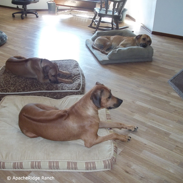 Rhodesian Ridgeback Puppies - Rhodesian Ridgeback Puppies coming soon