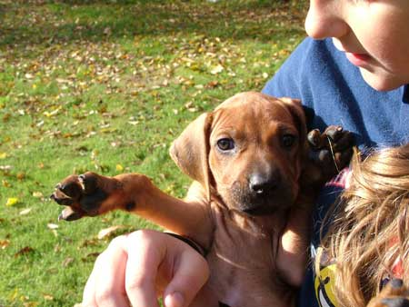 Washington and Oregon Rhodesian Ridgeback Puppies